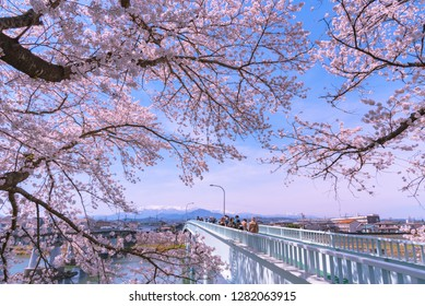 Ogawara, Miyagi, Japan - April 5, 2018: Shiroishigawa-tsutsumi Hitome Senbonzakura, Cherry blossoms with snow-covered Zao Mountain in background in Funaoka Castle Ruin Park, Sendai, Miyagi, Japan