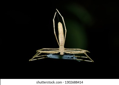 Ogre-Faced spider, Deinopis subrufa, called Rufous Net-casting spider with net. Night spider in Masoala National park, Toamasina province, Madagascar wildlife and wilderness