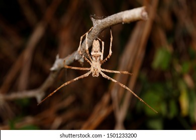 Ogre-faced spider or net casting spider of genus Deinopis. Photo taken in Ndumo Game Reserve, South Africa.