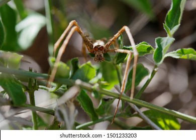 Ogre-faced spider or net casting spider of genus Deinopis. Hiding during the day in vegetation. Photo taken in Ndumo Game Reserve, South Africa.