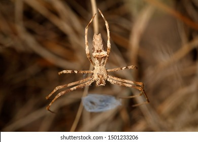 Ogre-faced spider or net casting spider of genus Deinopis. Holding its web ready to catch a prey item. Photo taken in Ndumo Game Reserve, South Africa.