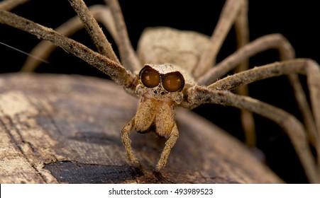 Ogre-faced spider,genus Deinopsis,