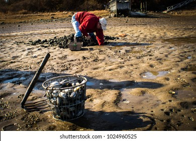 Ogunquit, Maine, USA: November 18, 2017: A foreground shot of a clam rake sitting next to freshly harvested clams in a metal bushel with a Maine clammer digging in the sand for clams.