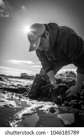 Ogunquit, Maine, USA: November 3, 2017: A black and white photo of a Maine clammer harvesting fresh clams from the salt water marsh in Ogunquit, Maine.