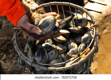 Ogunquit, Maine, USA-November 12, 2017: A Maine Clammer holds freshly harvested clams in his hand above the bushel of clams raked from clam flats on the Ogunquit River bed during clamming season.