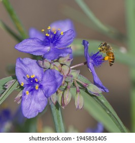 ohio spiderwort, bluejacket (Tradescantia ohiensis), clumped showing bright purple yellow petals with yellow pollen heads, bokeh background, extreme detail with a honey bee (Apis mellifera)