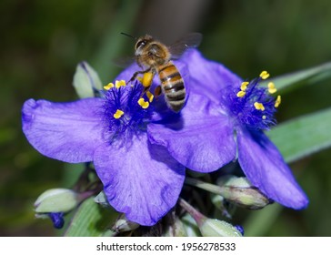 ohio spiderwort, bluejacket (Tradescantia ohiensis), clumped showing bright purple petals with yellow pollen heads, bokeh background, extreme detail with a honey bee (Apis mellifera), pollen legs