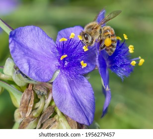 ohio spiderwort, bluejacket (Tradescantia ohiensis), clumped showing bright purple yellow petals with yellow pollen heads, bokeh background, extreme detail with a honey bee (Apis mellifera), close up