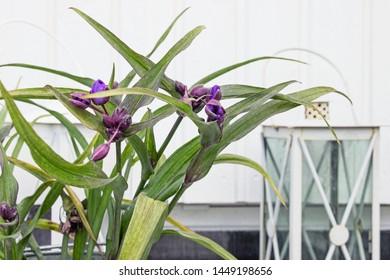 Ohio Spiderwort (Tradescantia ohiensis) flower bush in garden