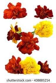 oil draw dry delicate flowers and petals of marigold isolated on white scrapbook background  paint