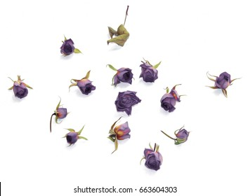 oil draw old purple rose, dry fall fowers isolated element  paint object  set