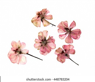 oil draw pink geranium perspective, dry paint delicate flowers and petals of pelargonium, isolated on white