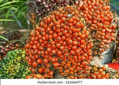 oil palm - African oil palm, Macaw fat, (Elaeis guineensis Jacq.)