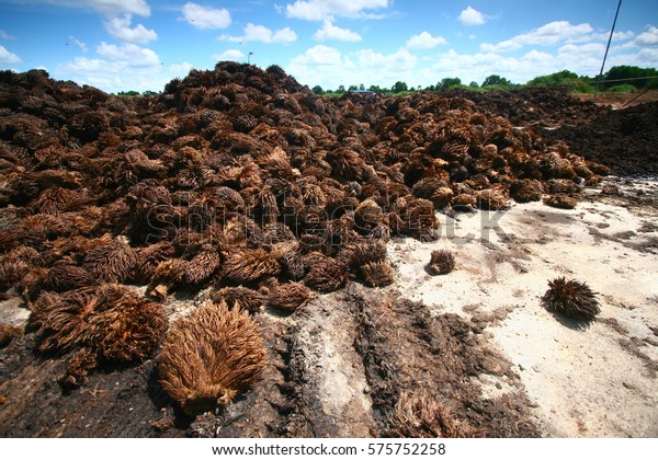 Oil Palm Empty Fruit Bunches By Stock Photo (Edit Now) 575752258600 x 420 jpeg 111kB