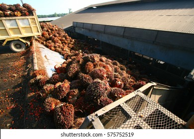 Oil palm fruits delivered to palm oil mill for processing