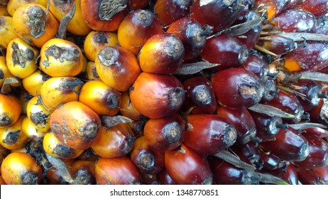 Oil palm fruits in plantation is important agriculture economy in tropics Asia