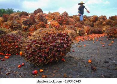 OIl palm fruits with workers working in background