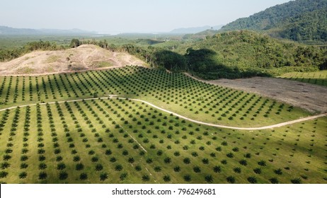 Oil palm plantation aerial photo