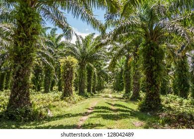 Oil palm plantation in eastern Madagascar
