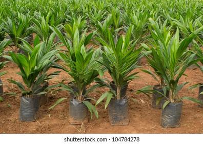 Oil palm seedling