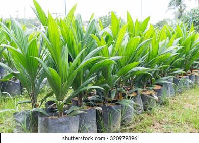 Oil palm seedlings with bifid leaves at oil palm nursery