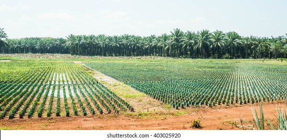 Oil palm seedlings fields with palm tree background.