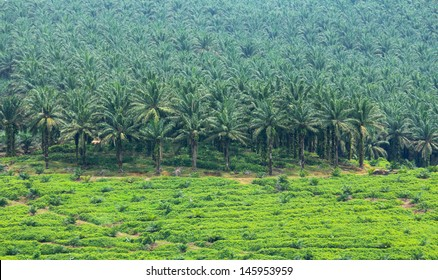 Oil palm trees in plantation