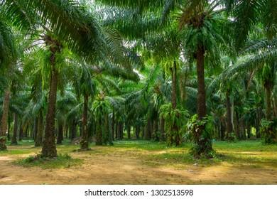 Oil palms in palm plantation farm.