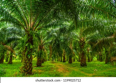 Oil palms plantation, tropical jungle, Phang-nga Thailand
