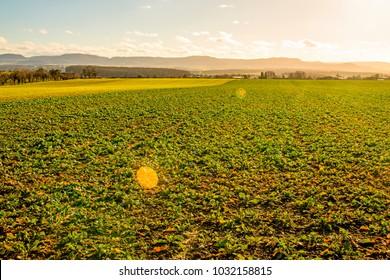 Oil radish, green manure