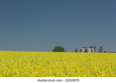 Oil rapeseed fields