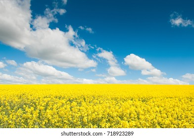 Oil Seed Rape field in full flower with blue sky
