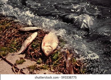 Oil spills concept. Dead fish on shore