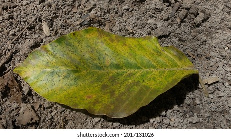 Oil tree leaves on the ground with macro