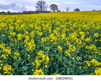 Oilseed rape or canola meadow in the Herefordshire countryside in England in spring.