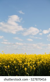 An oilseed rape field in England, UK, in late spring/early summer