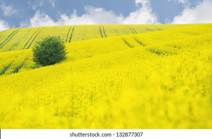 Oilseed Rape field with tree against blue sky