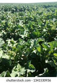 Oilseed rape fields. Green farm land. Colza. Spanish agriculture.