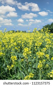 Oilseed rapeseed flowers in cultivated agricultural field. Selective focus.
