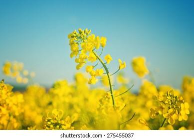 rapeseed flower images stock photos vectors shutterstock