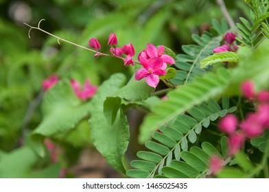 Oink flowers and plants ina a tropical garden in Todos Santos  baja California Sur. Mexico
