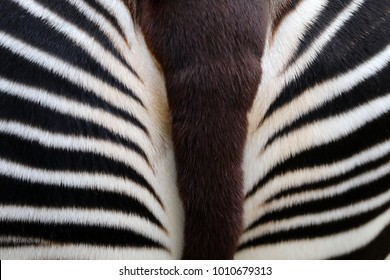Okapi close-up detail