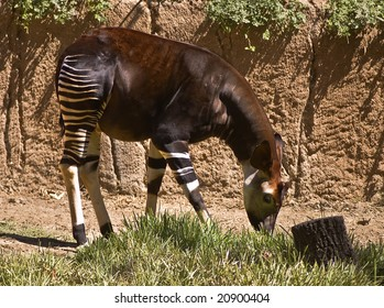 Okapi Eating