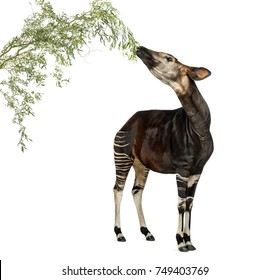 Okapi eating foliage from a branch, Okapia johnstoni, isolated on white