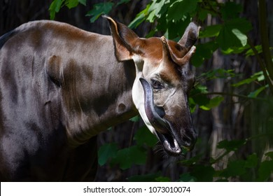 Okapi licking its face with its long tongue