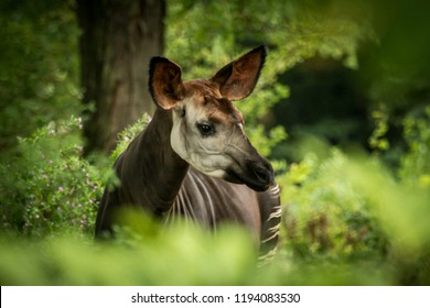 Okapi (Okapia johnstoni), forest giraffe or zebra giraffe, artiodactyl mammal native to jungle or tropical forest, Congo, Central Africa, beautiful animal with white stripes in green leaves, portrait