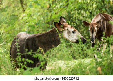 Okapi (Okapia johnstoni), forest giraffe or zebra giraffe, artiodactyl mammal native to jungle or tropical forest, Congo, Rwanda, Central Africa, beautiful animal with white stripes in green leaves
