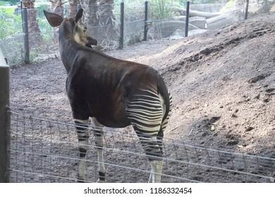 Okapi ( Okapia johnstoni ) in forest, similar to a giraffe,  San Diego, California
