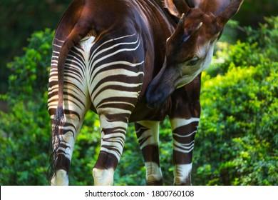 Okapi, Okapia johnstoni, also known as the forest giraffe, Congolese giraffe, or zebra giraffe, artiodactyl mammal native to the northeast of the Democratic Republic of the Congo in Central Africa