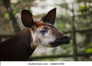 Okapi (Okapia johnstoni). Wild life animal.